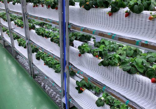 イチゴの栽培棚1